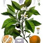 Citrus aurantium: bitter orange
