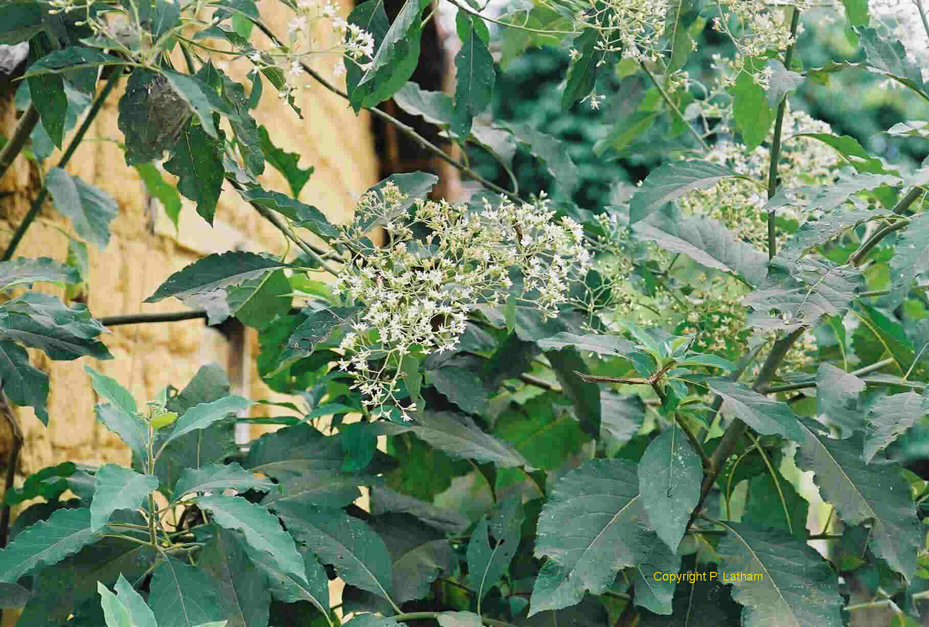 medicinal value of plants in pacific Herbs and flowers production a guide to medicinal and aromatic plants - guide containing plant/crop descriptors, herb varieties, sources of herb seeds and plants guide to ginseng production in the pacific northwest - ginseng production guide.